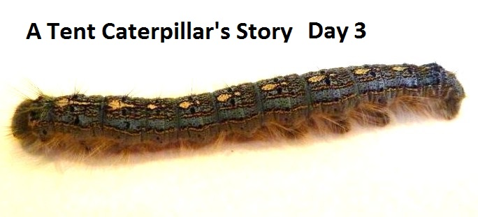 A Tent Caterpillar's Story - Day 3