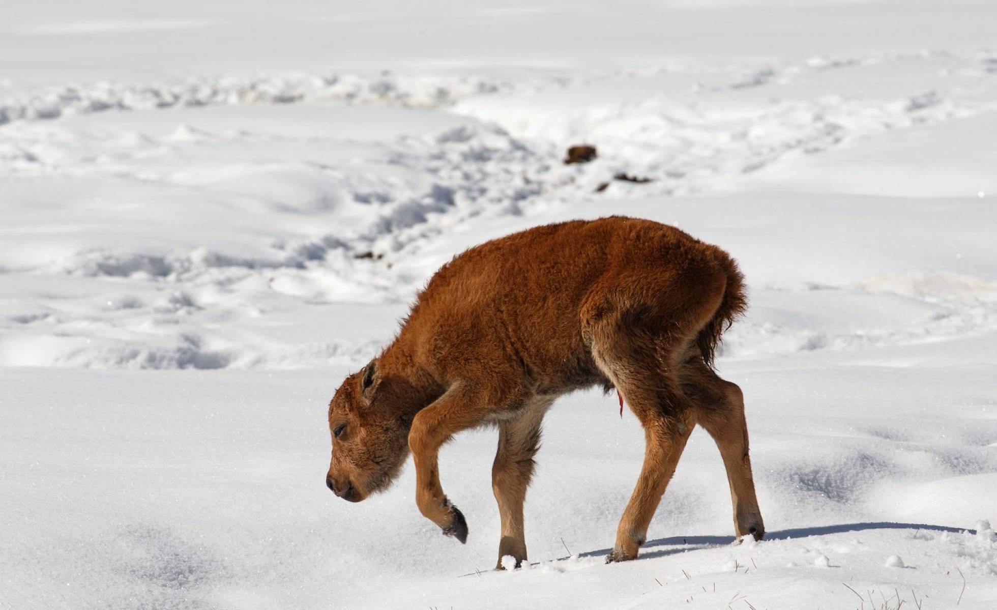 Nace 'Becerro 1', el primer bisonte del Parque Nacional de Banff de Canadá en 140 años