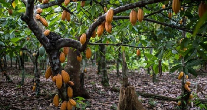 COCOBOD to rehabilitate cocoa farms
