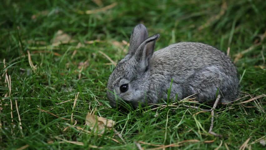 Tema boys chewing rabbit grass to enlarge their manhood