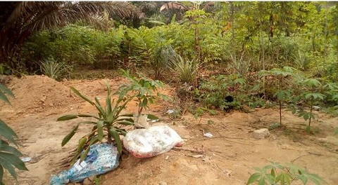 Man turns cemetery into cassava farm