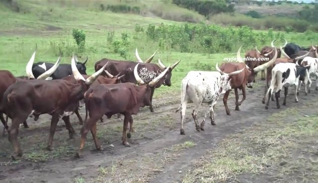 Soldiers and Police kill 120 cattles at Drobonso