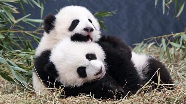 Toronto Zoo's fluffy twins!