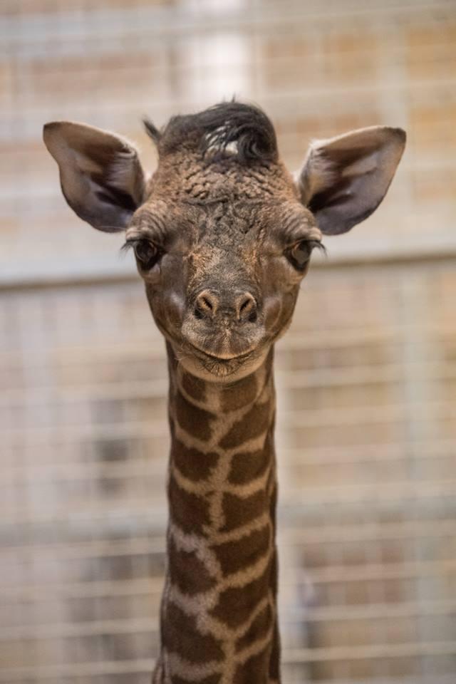 Baby Giraffe Born at Sacramento Zoo!