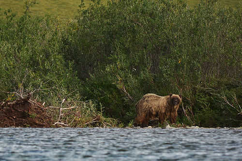 Grizzly Bear Audit