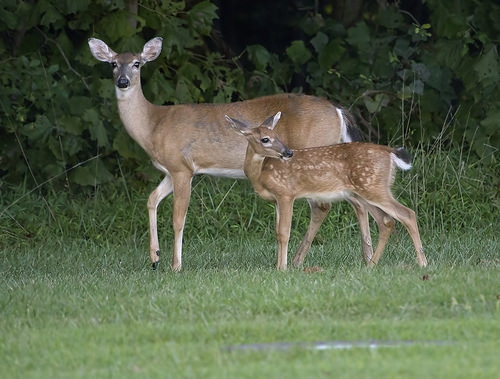 Waupaca assesses options on how to handle deer population