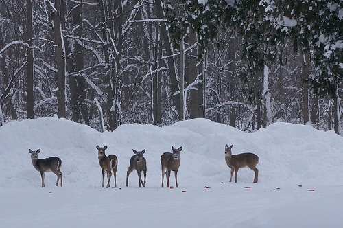 Waupaca Deer Management Ad Hoc Committee agrees on council recommendation