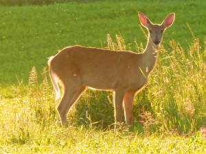 State DOT Urges Drivers To Watch For Deer
