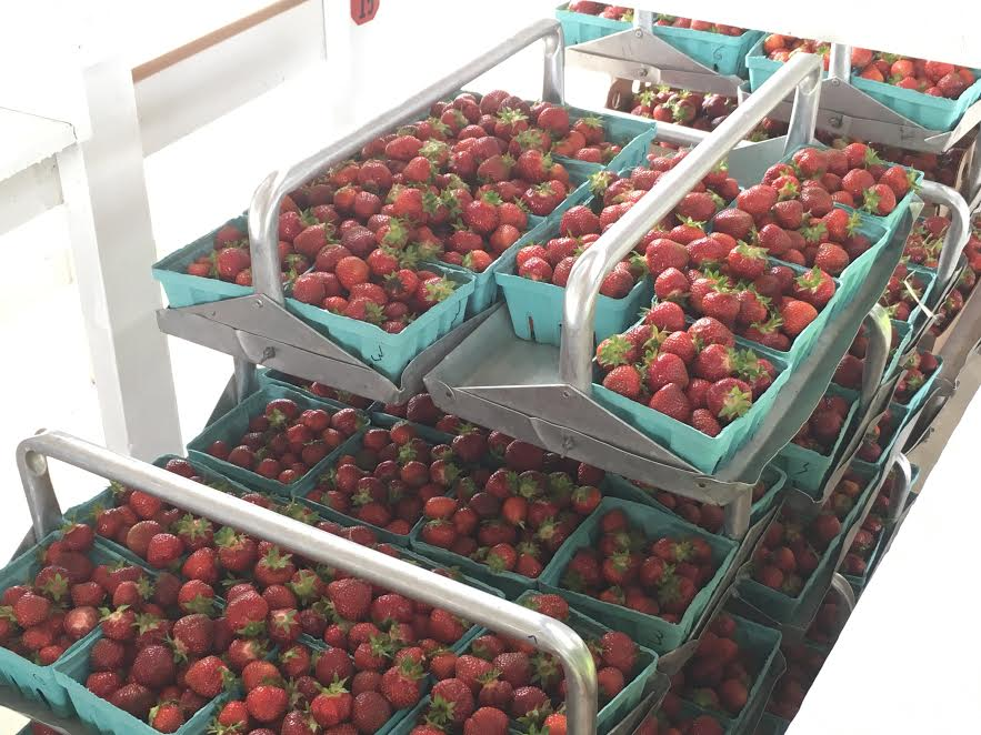 glendale-farms-berry-picking-2