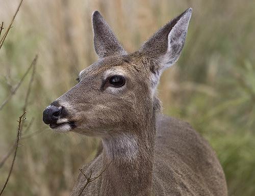 Waupaca City Deer Hunt In Jeopardy
