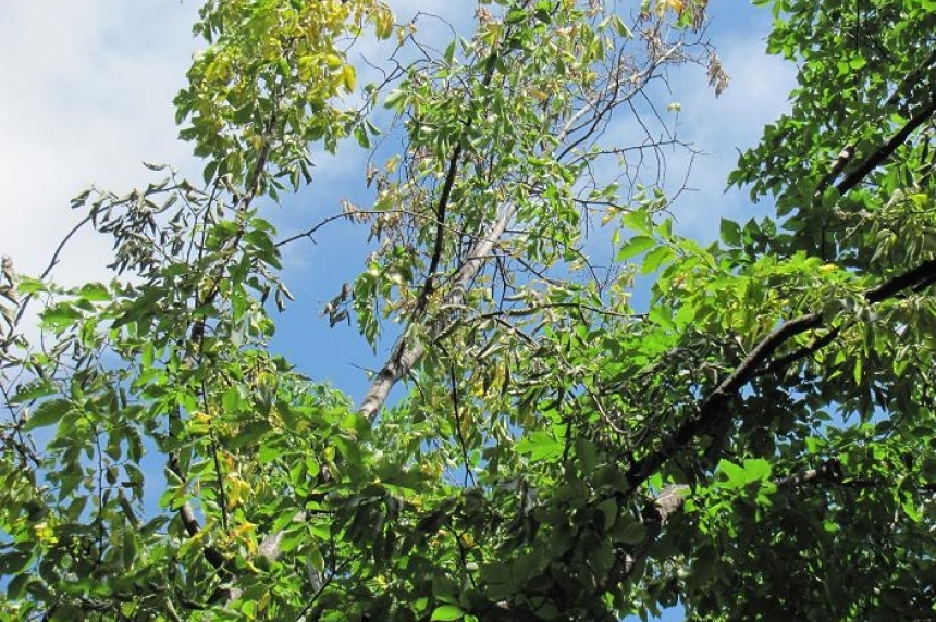 City confirms two more cases of Dutch elm disease