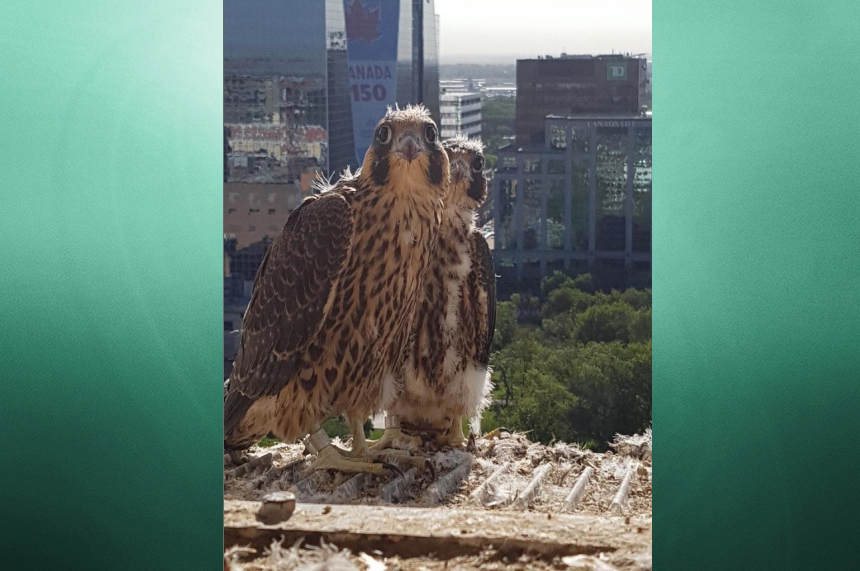 Noisy neighbours: falcons occupy roof of Regina City Hall