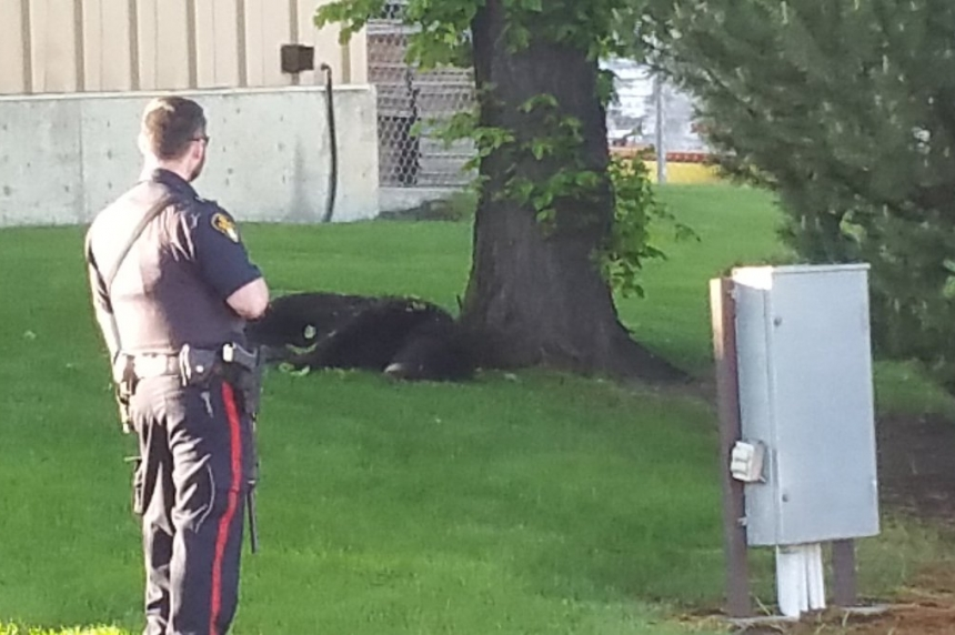 Black bear dies after being removed from Saskatoon