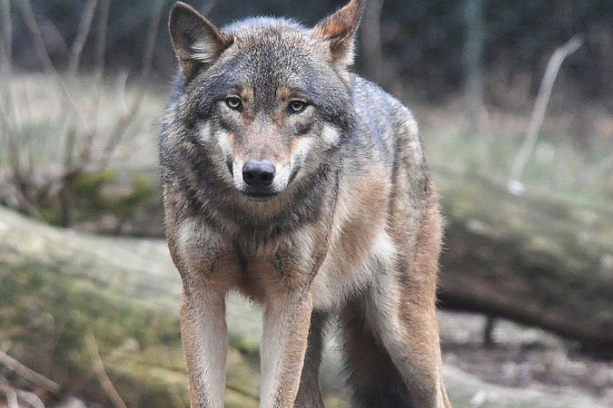 UPDATE: Contractor mauled by wolf at Cigar Lake mine