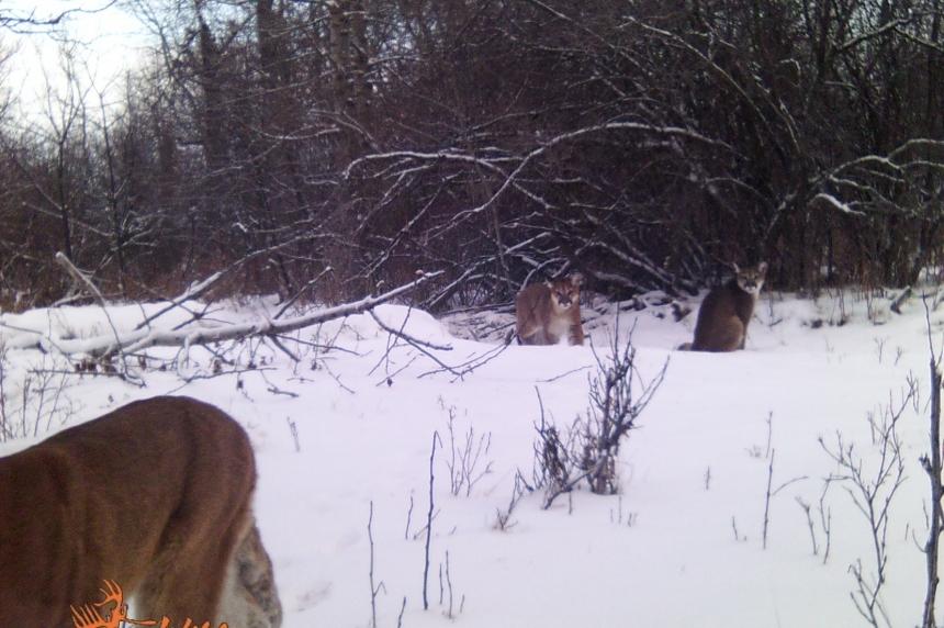 Saskatchewan continues monitoring cougar conflicts