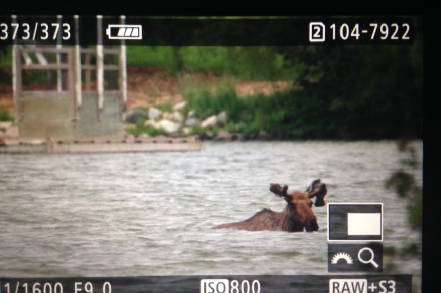 Moose takes a swim in Wascana Lake