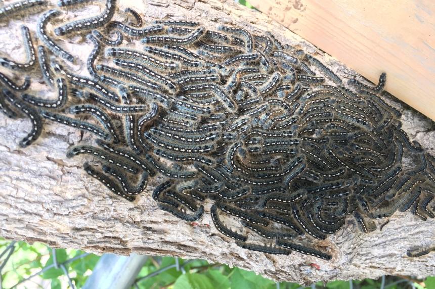 Ick factor: Tent caterpillars invade Sask.