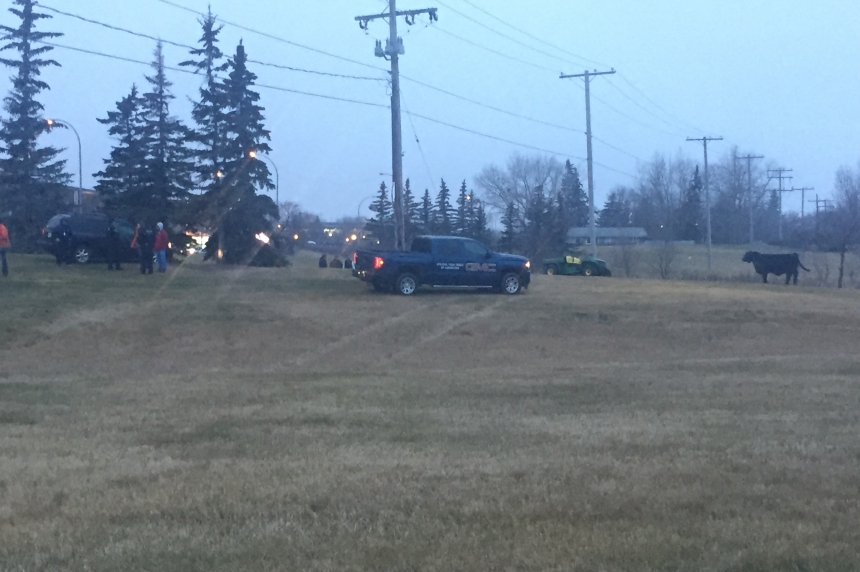 Runaway bull calf causes rush hour chase in Regina