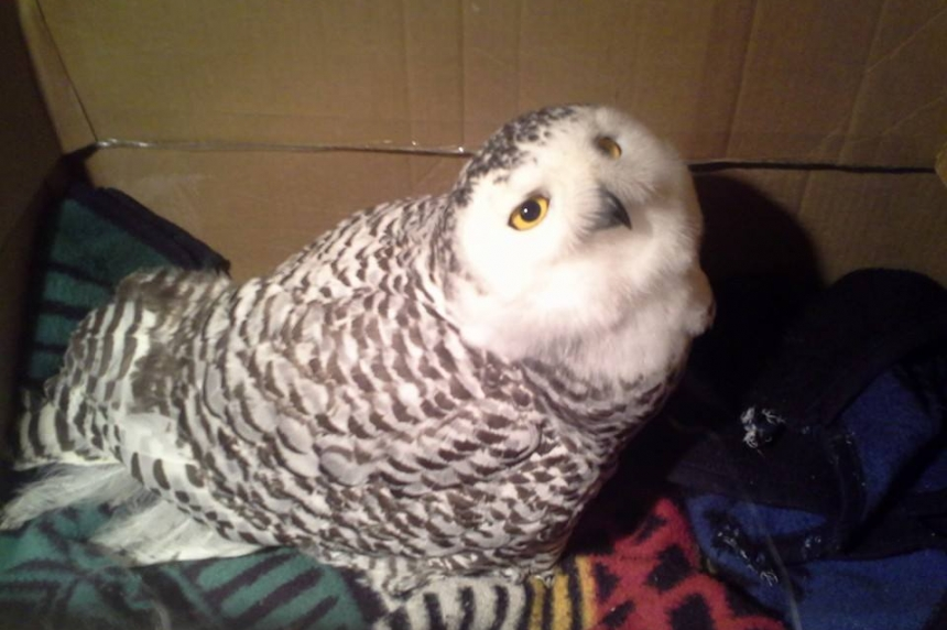 Starving snowy owls hit record number in Sask.