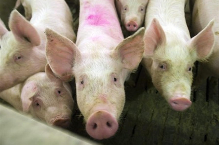 U of S researchers develop vaccine for deadly pig virus