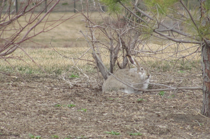 Martel on the Move: is the number of rabbits on the rise?