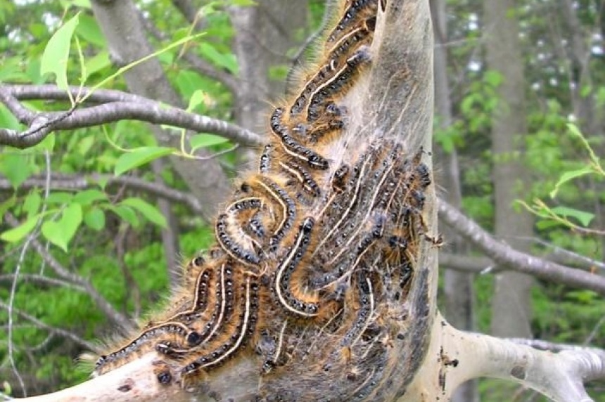 Tent caterpillars remain in boom cycle in Saskatoon, cankerworms normal
