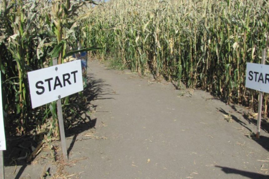 Lumsden's corn maze re-opens after 1-year hiatus