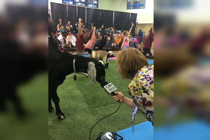 'Naahhhmaste:' you can try goat yoga at Agribition