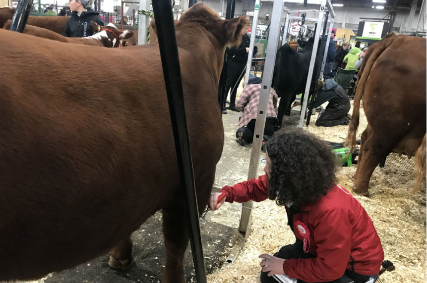'Work never ends:' cattle fitter gives insight on show prep