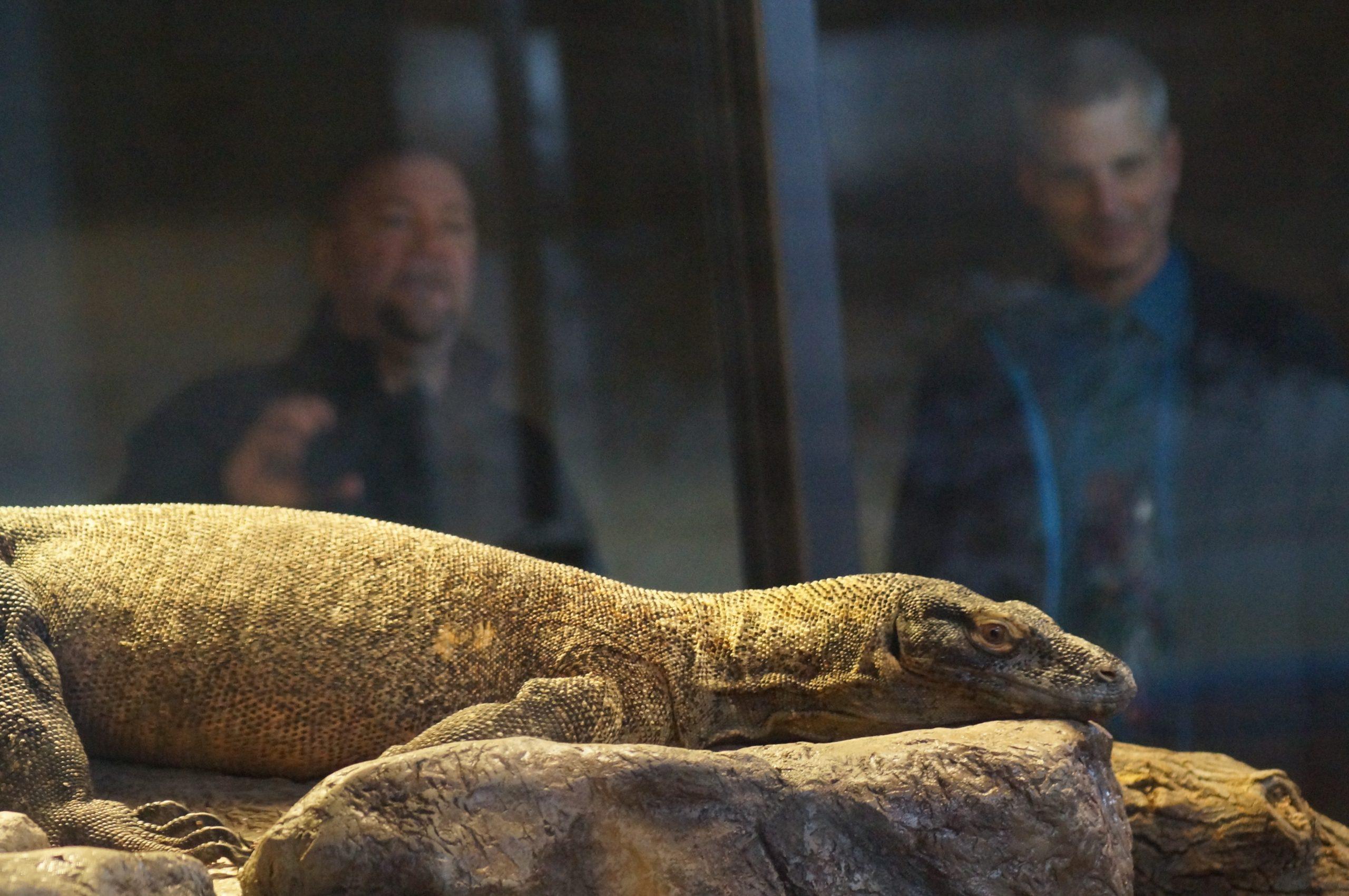 Komodo dragons settle into new home at Saskatoon zoo