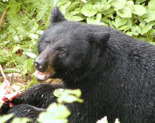 Reports of bears 'above average' in Saskatchewan: province