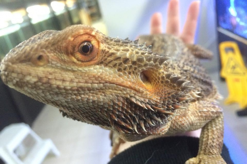 Regina pet shop looking for new homes for bearded dragons