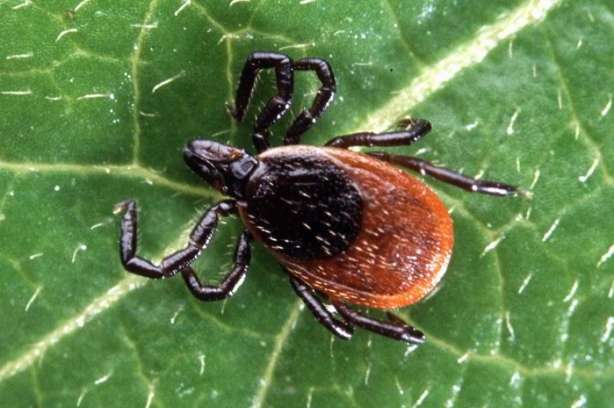 Tick surveillance program watching closely for ticks that can carry Lyme disease