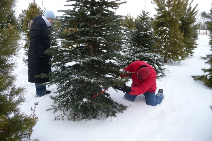 Several Sask. spots supply special spruces for Christmas