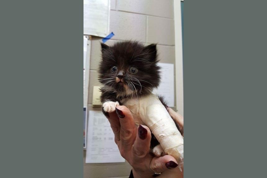Saskatoon SPCA puts out call to help injured kitten