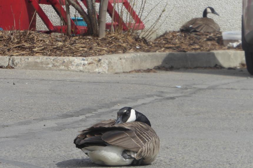 Geese make a return to east Regina Costco