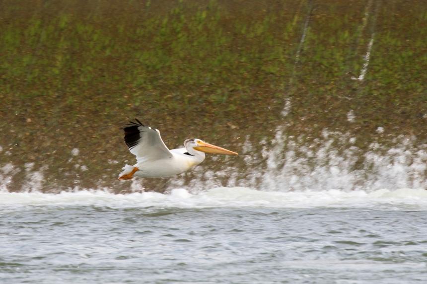 Contest opens to predict pelicans' arrival in Saskatoon