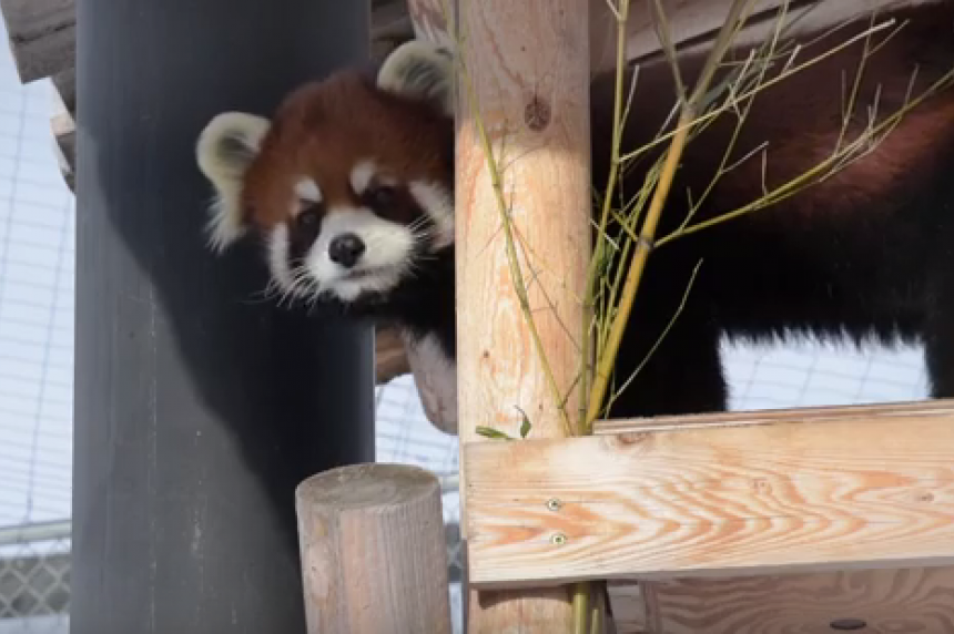 Saskatoon Forestry Farm releases video of red panda checkup