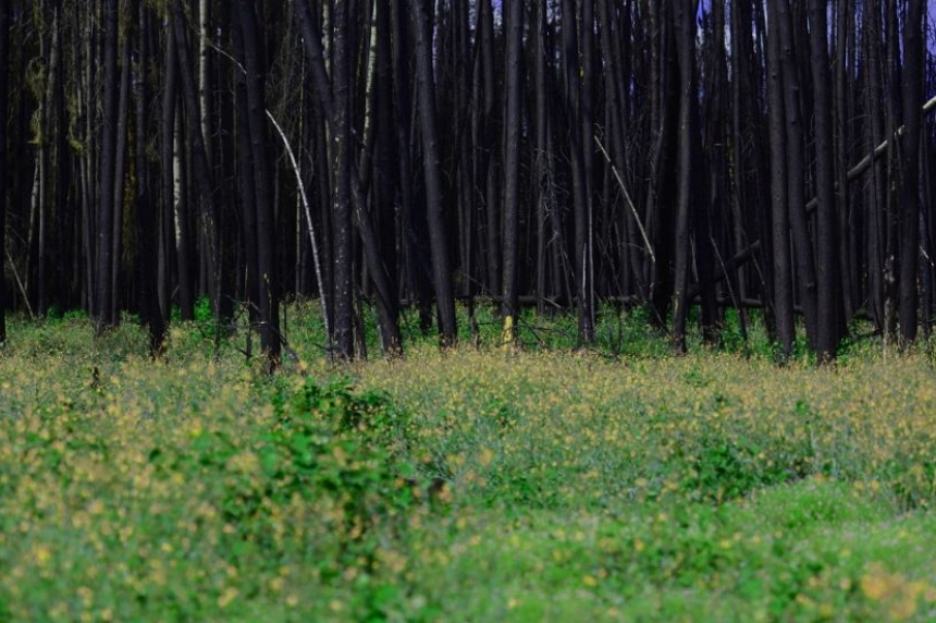 Growing back; forest recovers from Sask. 2015 fires