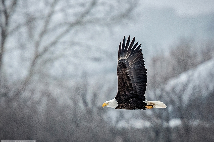 Dozens of American bald eagles spotted in Qu'Appelle Valley
