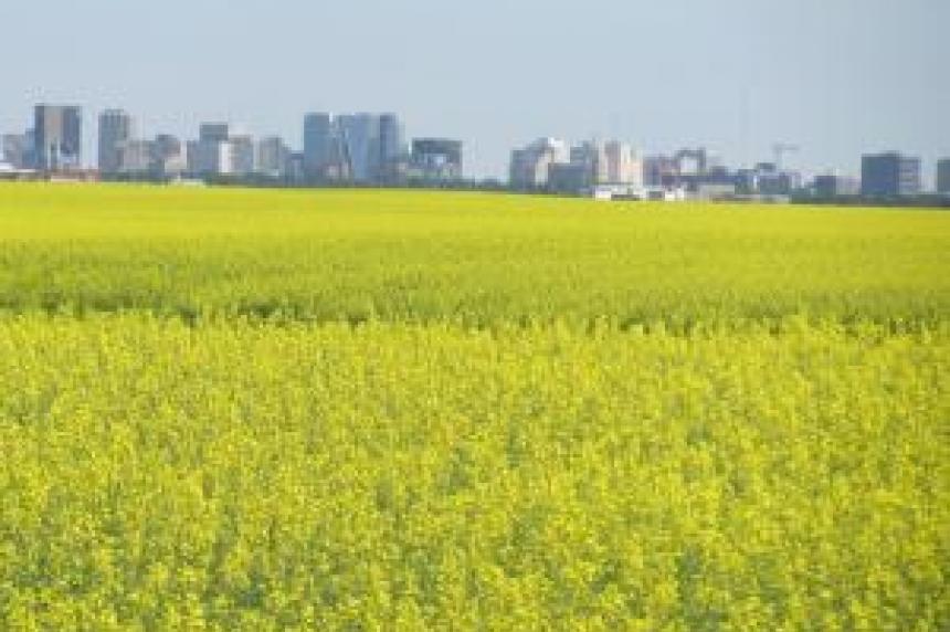 Saskatchewan harvest ahead despite rain