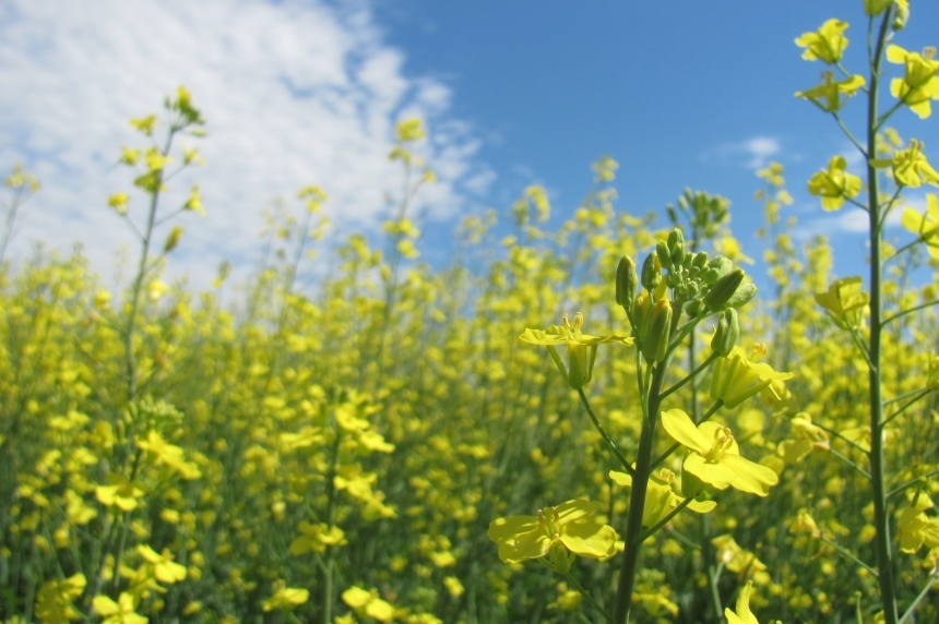 Sask. ag minister hopes China reconsiders stricter controls on canola exports