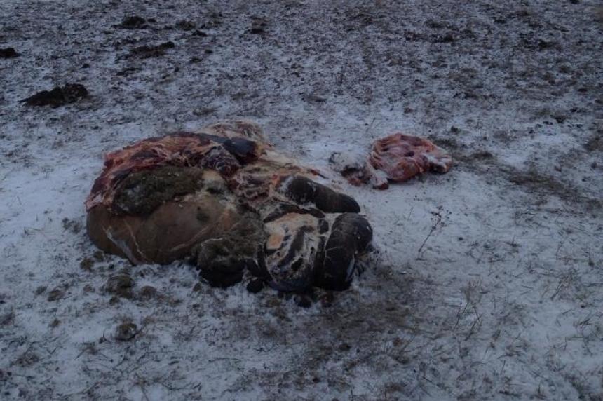 GRAPHIC PHOTOS: Farmer finds cow guts, no cow near Weyburn