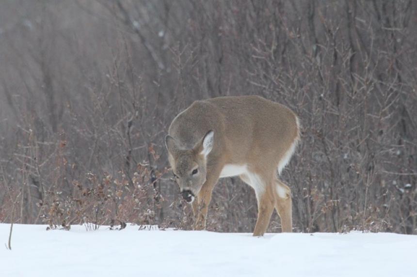 Province warns against feeding deer during winter
