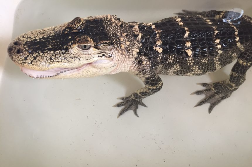 Littlefoot, a nine-year-old American alligator, soaks in a bathtub at Sask. Reptile Show and Rescue in Colonsay on Sept. 14, 2017. (Daniella Ponticelli/650 CKOM)