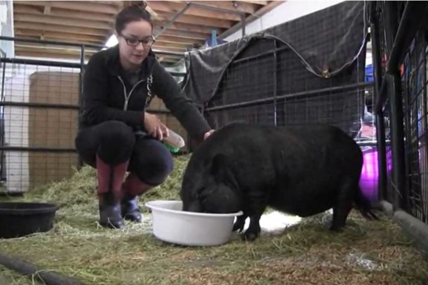 B.C. SPCA says noteworthy singing pig tips the scales in search of forever home