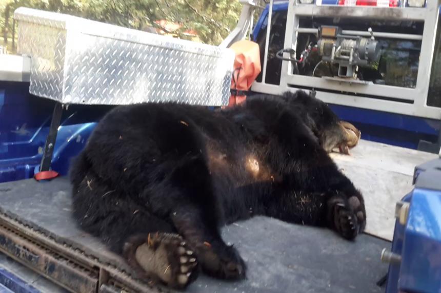 Nipawin-area man kills black bears after close encounter