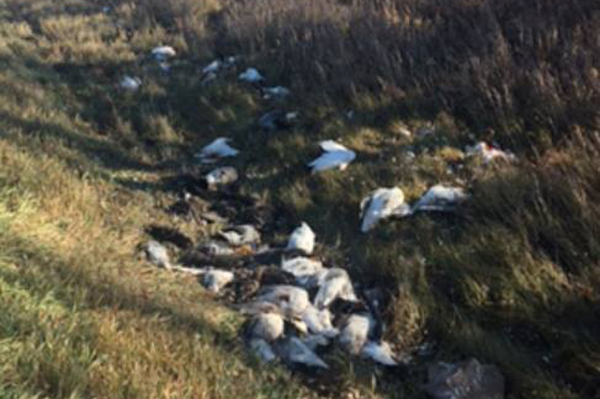 Dozens of dead birds left in Sask. field