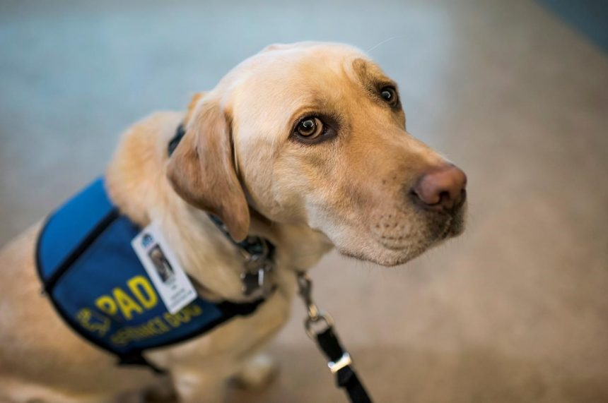 Labrador retriever supports children suspected of suffering from abuse, neglect