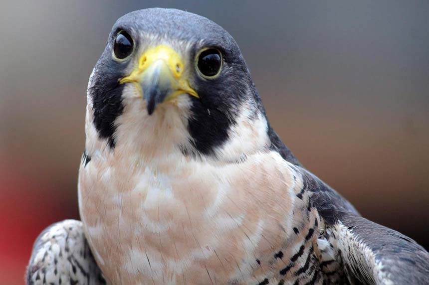 Peregrine falcon no longer a threatened species after four decades
